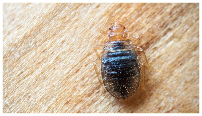 What Get Rid Of Bed Bug Infestation