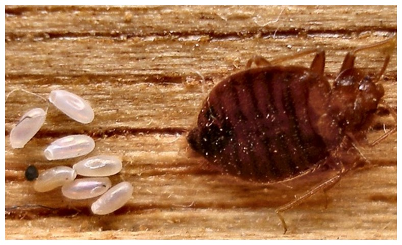 What Kills Bed Bug Eggs