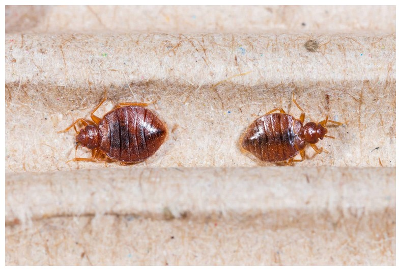 What To Do If Bed Bugs Bite You